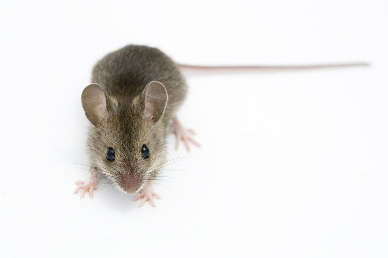 Mice lived with us 15,000 years ago even before farming took off